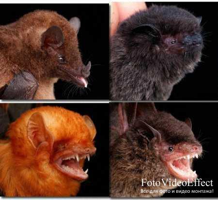 Настоящие вампиры (Летучие мыши).