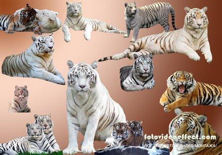 Клипарт Тигры для фотошопа в формате PSD