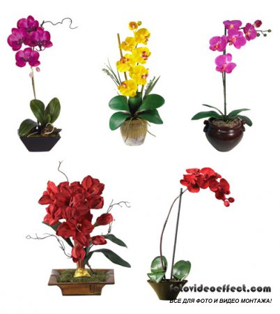 PSD Клипарт - Орхидеи