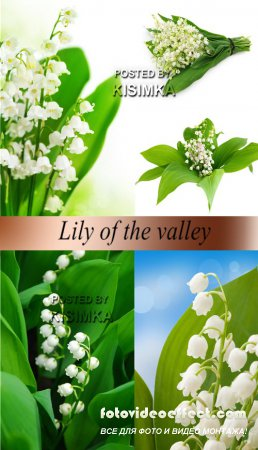 Stock Photo: Lily of the valley